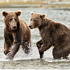 Alaskan Brown Bears, Fishing