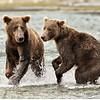 Alaskan Brown Bears, Fishing