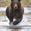 Katmai Brown Bear Charging, Salmon