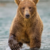 Rusty Brown Bear Approaching