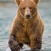 Rusty Brown Bear Approaching