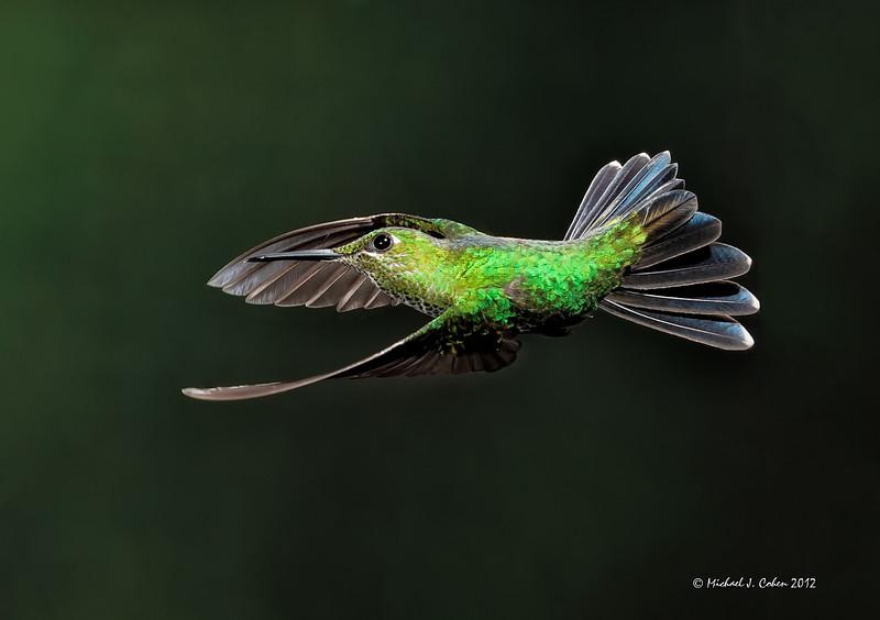 Bronce-tailed plumeleteer