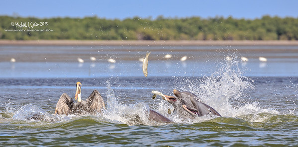 Dolphin Feeding Frenzy