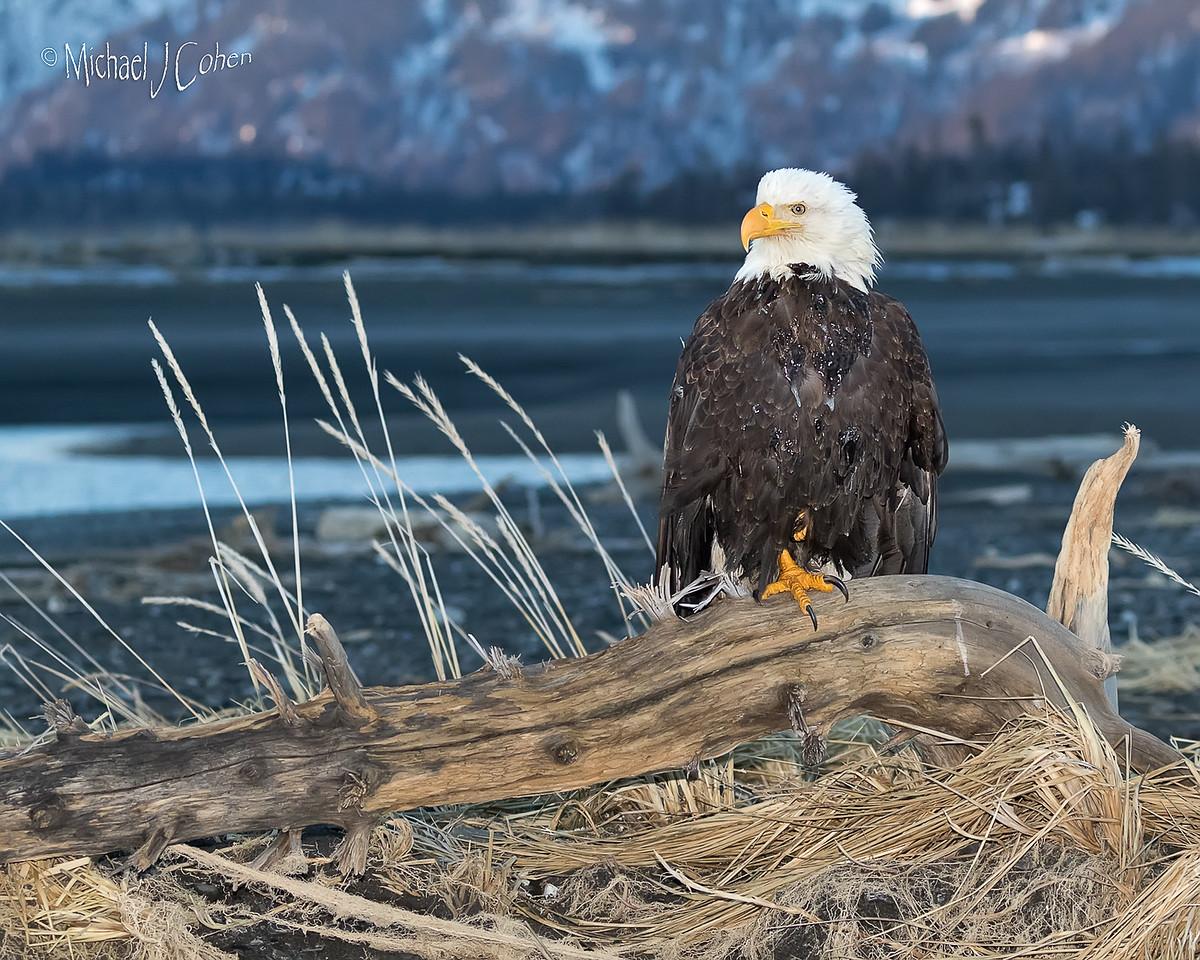 Bald Eagle-3465
