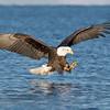 Bald Eagle-5704