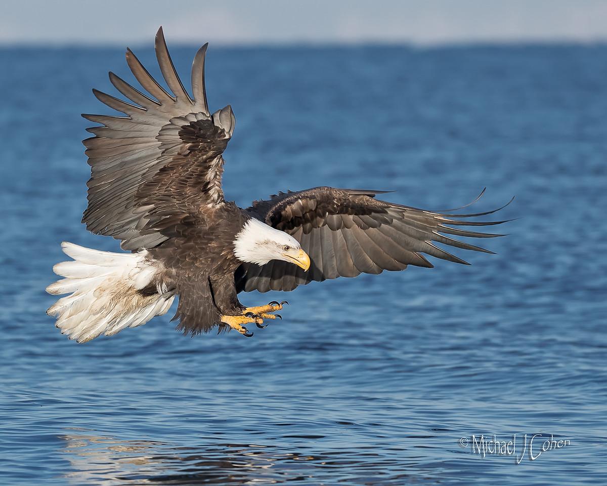 Bald Eagle-6285