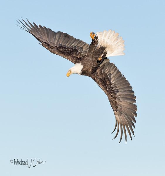 Bald Eagle-6344