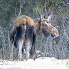 Moose rear end (1 of 1)
