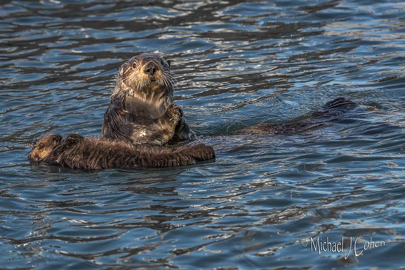 Sea Otter--8