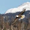 Bald Eagle-9873