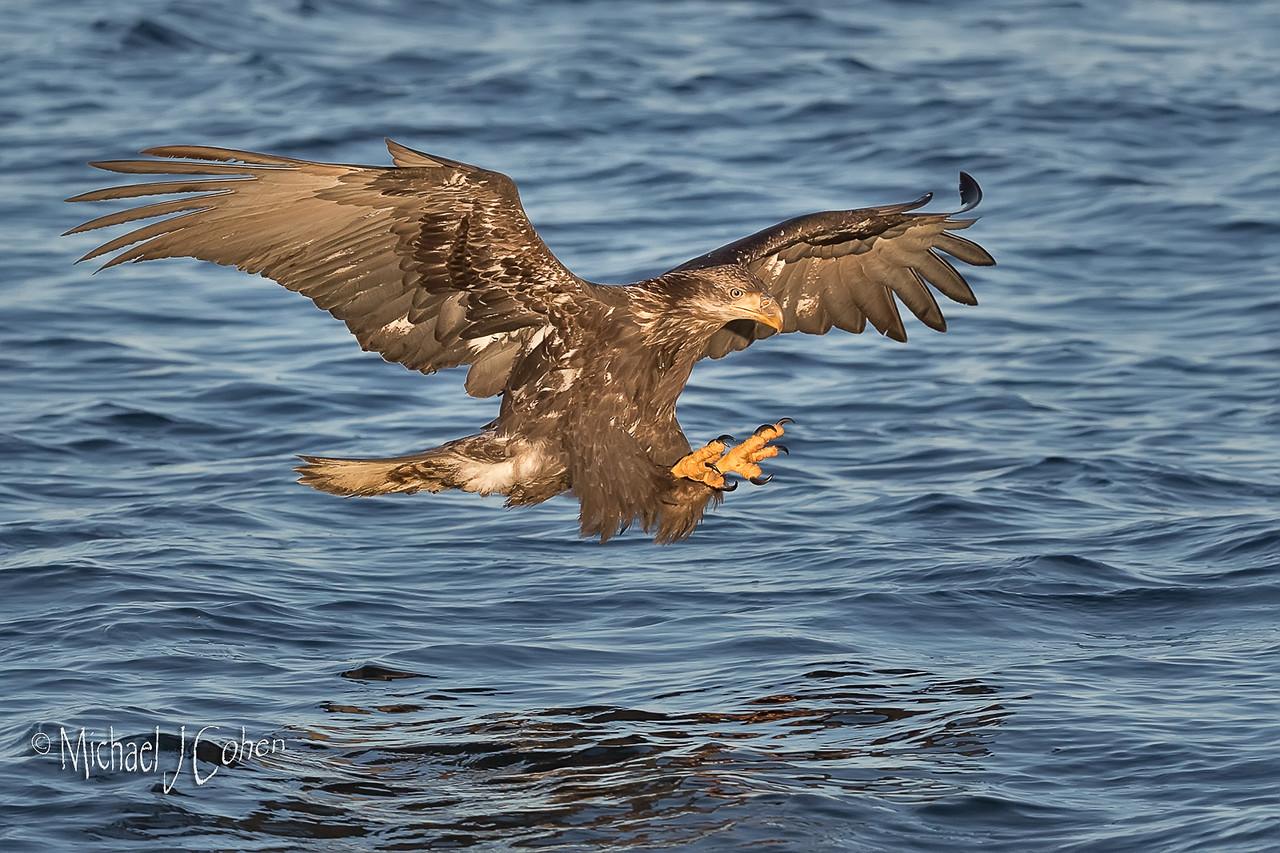 Bald Eagle-7967