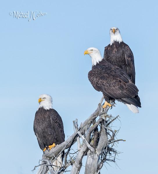 Bald Eagle-6696