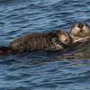 Sea Otter--7