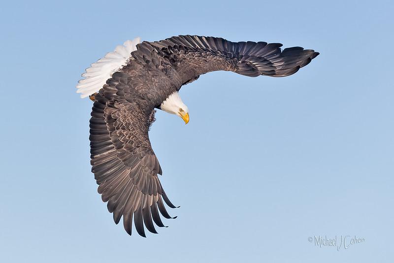 Bald Eagle-8850