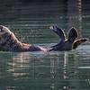 Sea Otter-