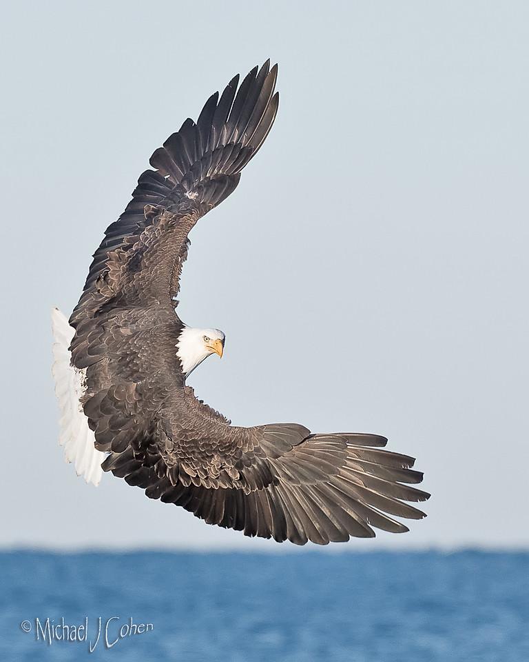 Bald Eagle-3863