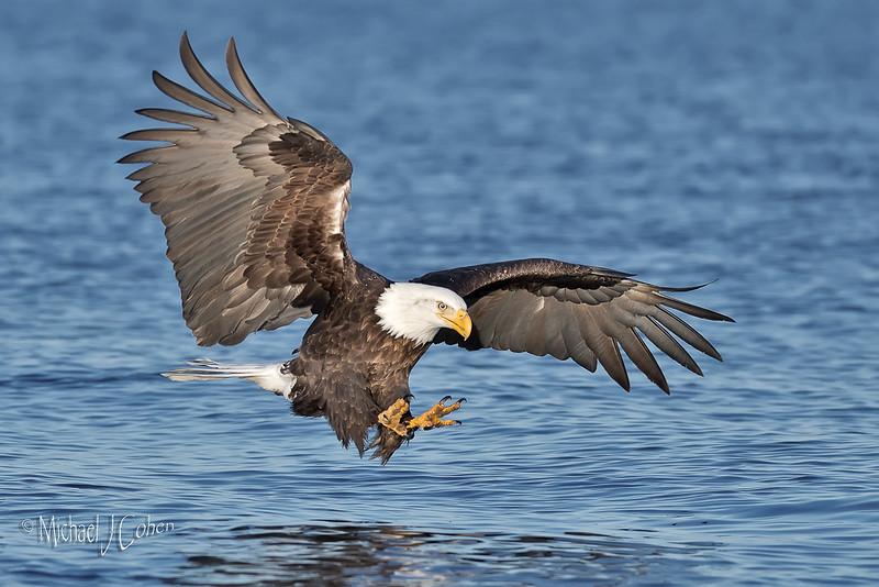 Bald Eagle-6325