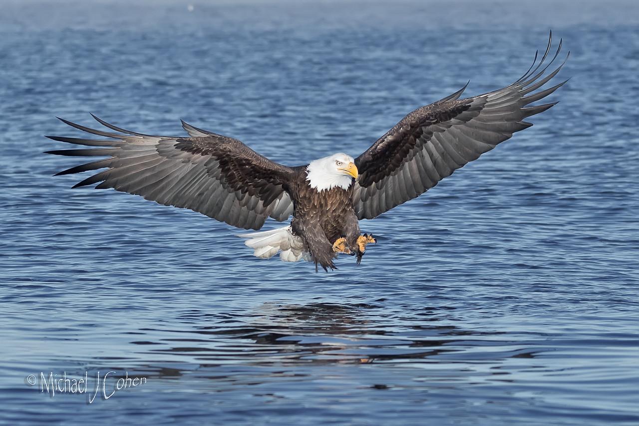 Bald Eagle-0936