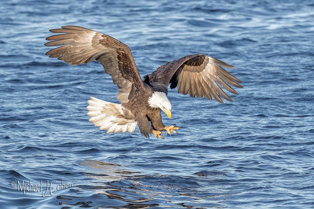 Bald Eagle-7949