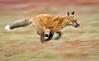 Red Fox--19
