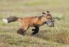 Red Fox--14