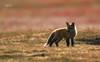 Red Fox--17