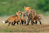 Red Fox--26