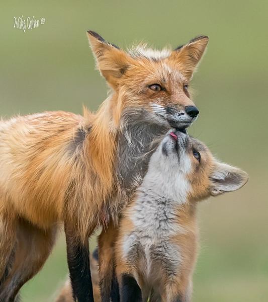 Red Fox-2