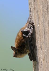 Little Brown Bat,  Myotis lucifugus