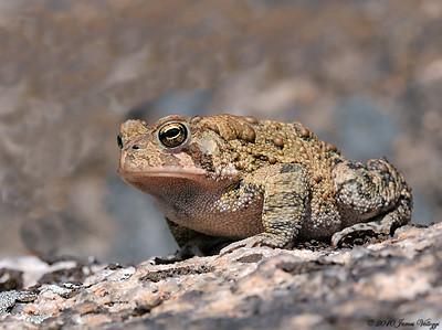 Fowler's Toad ,Bufo [Anaxyrus] fowleri