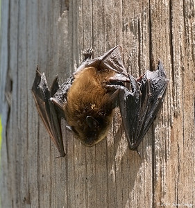 Little Brown Bat, Myotis lucifugus