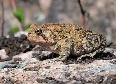 Fowler's Toad, Bufo [Anaxyrus] fowleri