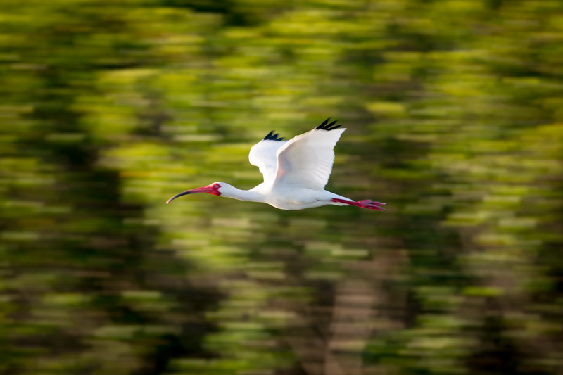 IBIS IN MOTION
