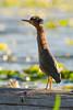 Heron Mohawk