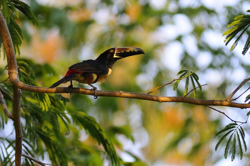 FLEETING ARACARI