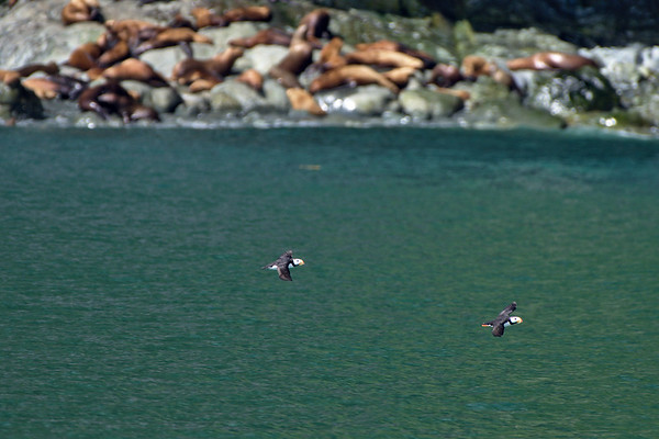 Puffins and Sea Lions
