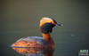 Horned Grebe at Sunset in Fairbanks, Alaska