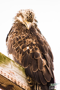 Juvenile Bald Eagle in Dutch Harbor