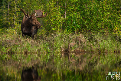 Grazing Bull Moose
