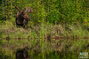 Grazing Bull Moose