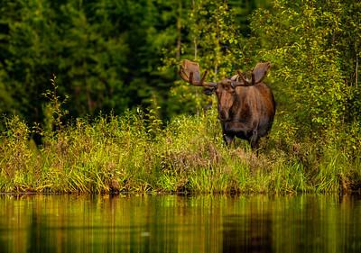 Alaska Bull Moose in Velvet