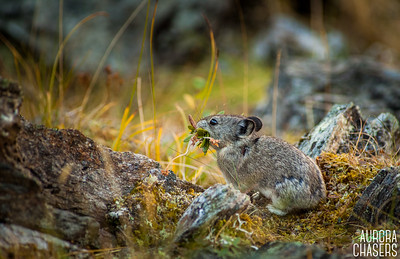Collard Pika preparing for winter