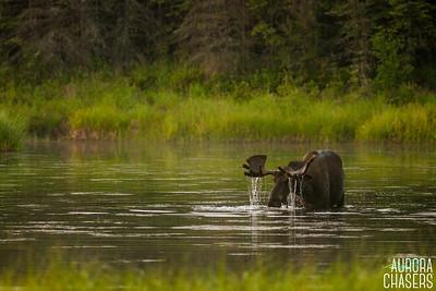 Bull Moose along Chena Hot Springs Road