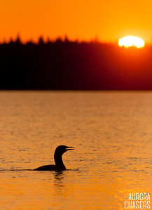 Common Loon at Sunset