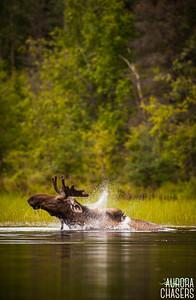 Alaska Bull Moose Swimming