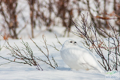 Willow Ptarmigan in Winter