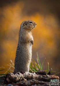 Denali Arctic Ground Squirrel