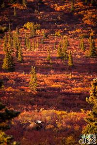 Tundra Bull Moose