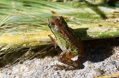 Baja California Tree Frog - 4/13/2019 - Agua Caliente County Park Marsh Trail