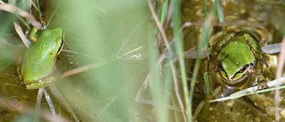 Baja California Tree Frog - 4/15/2019  - Agua Caliente County Park Marsh Trail